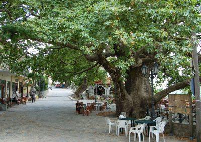 grote plataan in Arna