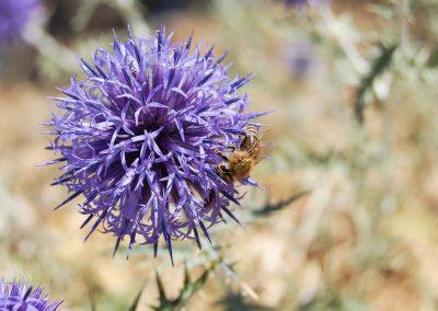 kogeldistel met bijen